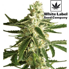 Semená marihuany White Label Seed Company: White Diesel Haze Automatic (3 semienka)