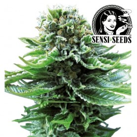 Semená marihuany Sensi Seeds: Northern Lights Automatic (5 semienok)