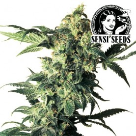 Northern Lights Feminizované (3 semienka) - Semená marihuany Sensi Seeds