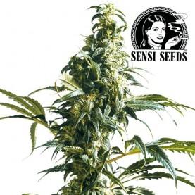 Mexican Sativa Feminized (3 semená) - Semená marihuany Sensi Seeds