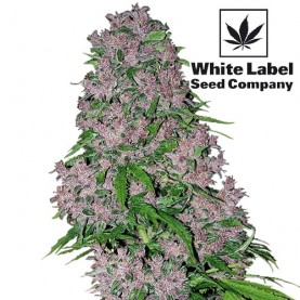 Purple Bud Feminised (5 semienok)