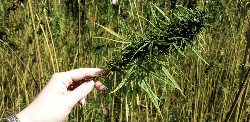 ženská ruka drží marihuanovú šišku s obsahom cbd na konopnom poli.png