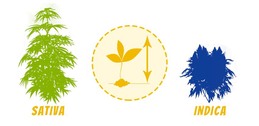 Kanabis Sativa a Indica - rozdiel vo výške rastliny