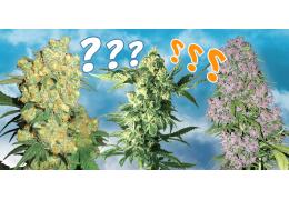 Pestovanie marihuany pre začiatočníkov. Ako si vybrať tie správne konopné semená pre pestovanie na balkóne alebo na záhradke?